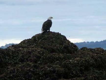 bald eagle sitting on rock
