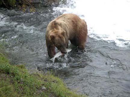 bear with fish in its mouth