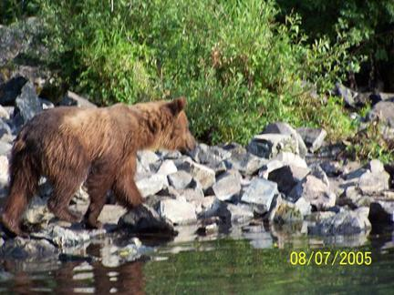 bear looking for fish in the stream