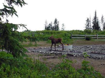 moose walking through field