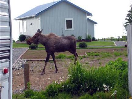 moose walking near cottages