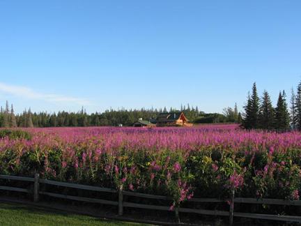 field of Alaska Fireweed