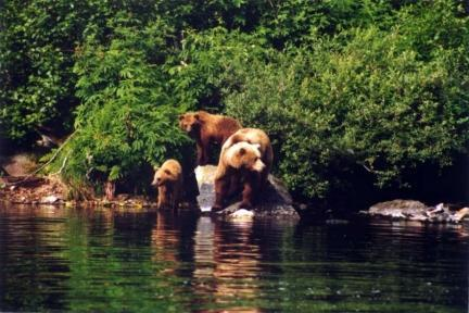 bears on a rock in the river