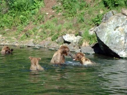 bear family swimming in a river
