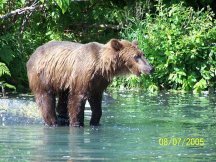 wet bear standing in river
