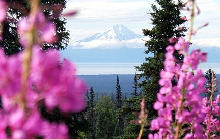 Mt. Denali framed by fireweed