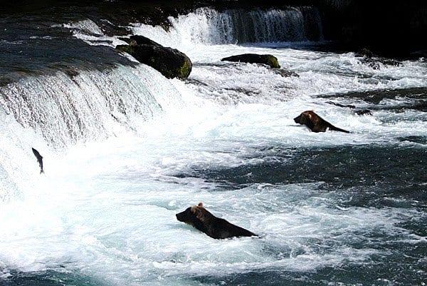 bears in river rapids