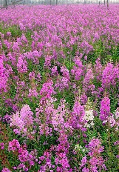 a field of fireweed