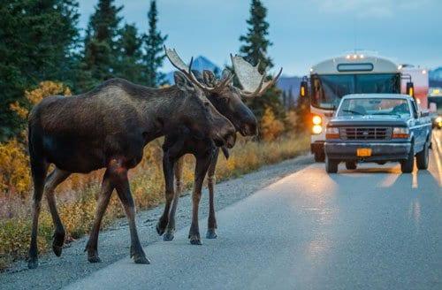 two moose crossing road in alaska