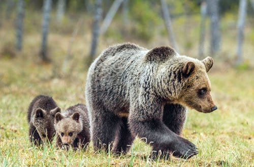 mama bear and two cubs in Alaska