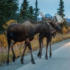 Alaskan moose on a road