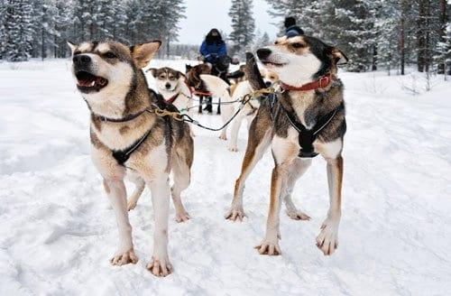 huskies pulling a dog sled in Alaska