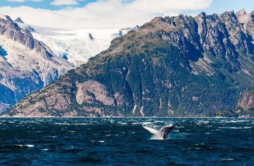 humpback whale with glacier in background