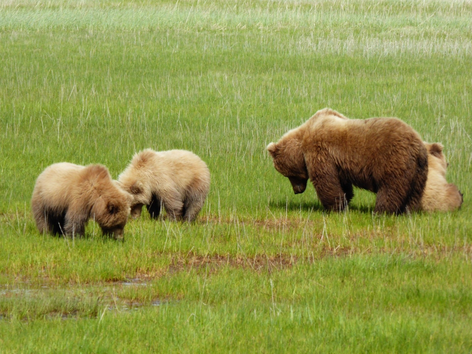 brown bear family in a field
