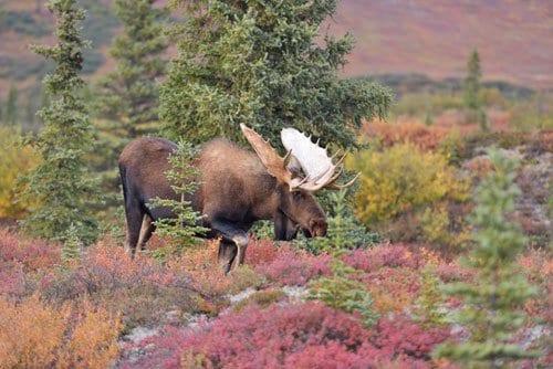 large male moose walking grass