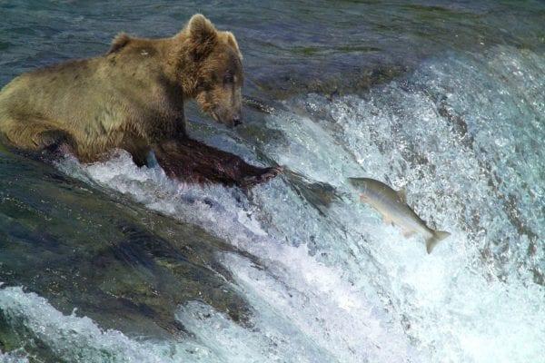 Kodiak brown bear catching fish in a river