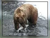 grizzly bear with fish in its mouth